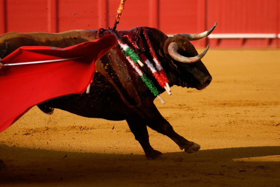 Entre el sol y la sombra. A bull passes between shade and sun, June 19, 2014, at the Plaza de Toros de la Maestranza in Sevilla, Spain.