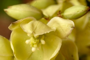 The flower of the yucca plant is completely edible, but it tastes best with a little bit of preparation.